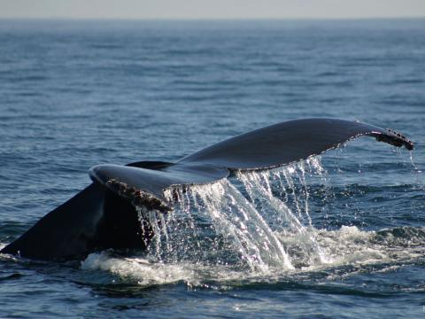 A whale's tale breaches the water.