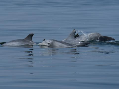 A pod of dolphins breach the water's surface in Chesapeake Bay
