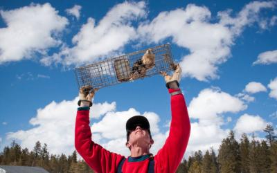 John Hoogland raises a cage to carefully inspect a prairie dog.