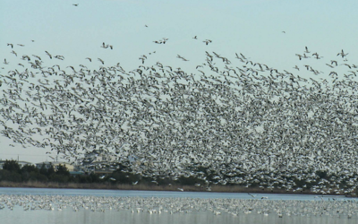 Flock of snow geese taking off over body of water.