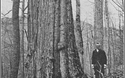 American chestnut tree towers above man in early twentieth century