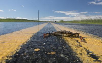 A crab sits on the yellow lines of a wet roadway in Dorchester County.