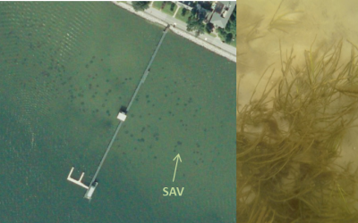 : This aerial photo of CBL Pier, captured in September 2017, shows what appeared to be patches of bay grasses growing nearby (image courtesy of Bob Orth, VIMS). The following (right) underwater photograph confirmed that bay grasses are indeed growing in t