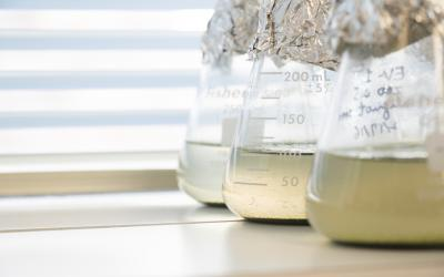 Three glass flasks are filled with samples of biofuel made from aglae