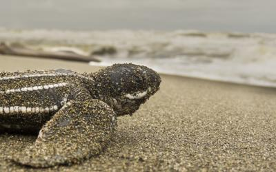 Leatherback turtle hatchling on the beach