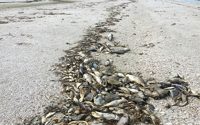 Fish kills as a result of harmful algal blooms (HABS)