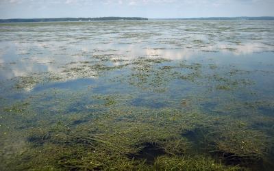 A view of underwater grasses in Susquehanna Flats near Havre de Grace