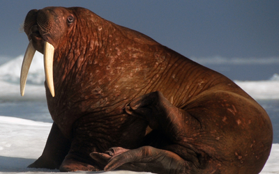 A walrus on sea ice.