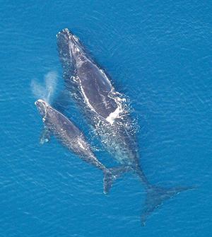 Eubalaena glacialis whale with calf