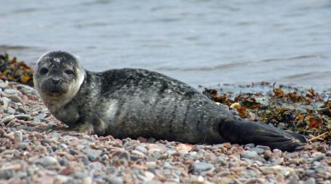 A harbor seal lays on the shore.