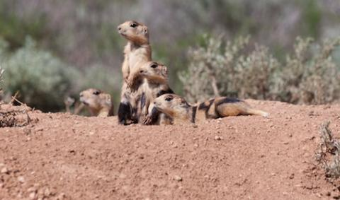 Prairie dogs look out at the landscape from their hole. Photo by Elaine Miller Bond