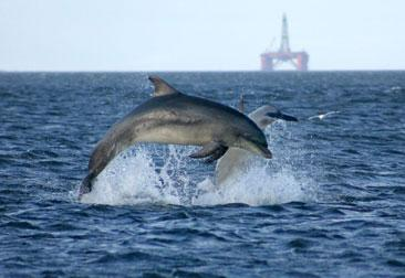 Bottlenose dolphins in the Marine Protected Area in NE Scotland (UK).