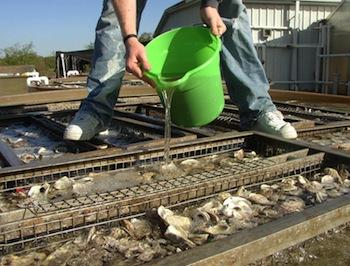 Pouring larvae into a tank of shells