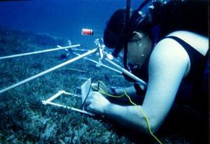 Evamaria Koch diving underwater to inspect seagrass.