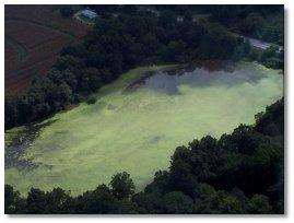 Harmful algal blooms, like this Microcystis bloom in the Sassafras River in 2000, can have a direct and immediate impact on the Chesapeake Bay's aquatic life. Photo courtesy Md. Department of Natural Resources.