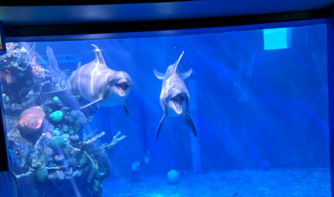 Two dolphins look like they're smiling through the glass at The Seas in Disney's Epcot.