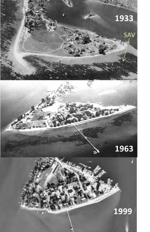 The shores of Solomons Island near the Chesapeake Biological Laboratory research pier were once covered with lush bay grass beds, but these beds began to decline in the 1960s and were completely gone by the 1970s. Bay grasses did not return to the region