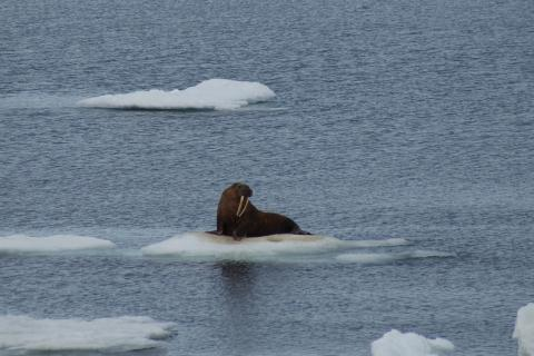 Walruses use sea ice for riding, resting, and nursing calves. Photo by Rachel Pleuthner, Old Dominion University