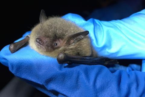 Little brown bat held by researcher