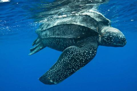 Leatherback turtle under water
