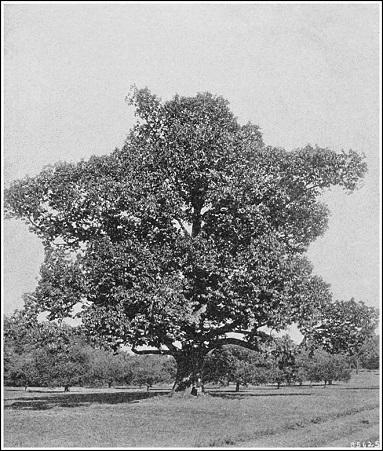 American Chestnut taken by US Forest Service in early twentieth century