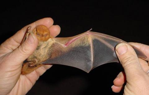 Photo of a captured eastern red bat.