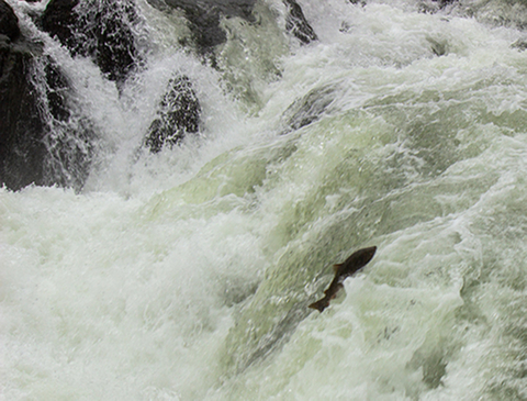 A photo of a large fish (a Chinook salmon) jumping a waterfall.