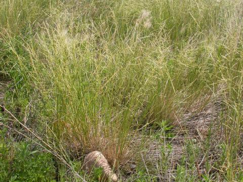 Photo of sand dropseed grass