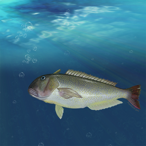 Tilefish graphic