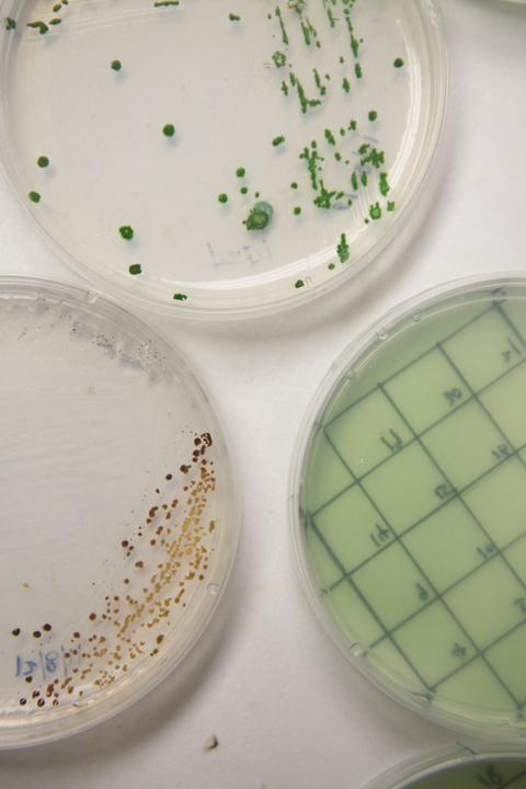 Three agar plates of algae samples close up