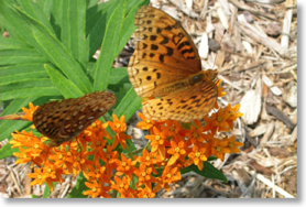 Photo of butterflies on butterfly weed plant