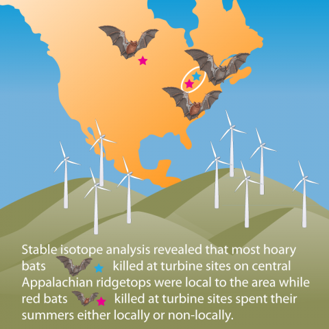 Conceptual diagram illustrating how most hoary bats killed on ridgetops were local to the area while red bats killed at the study sites spent their summers either locally or non-locally.