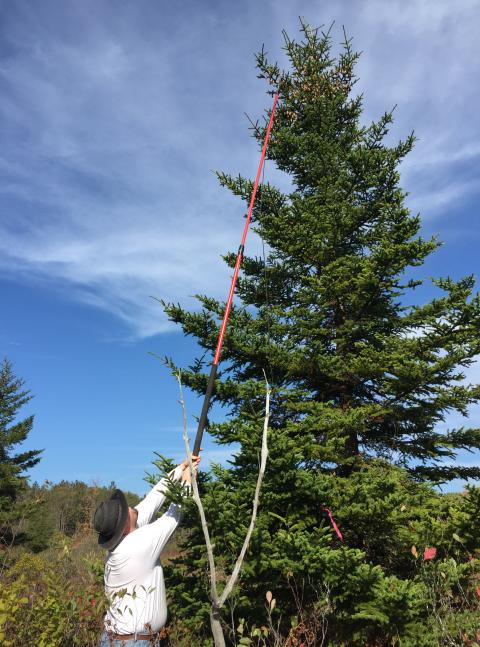 A scientist plucks cones from the top of a red spruce to retrieve seeds.