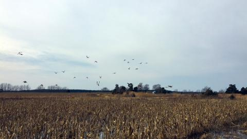 Ducks soar over a yellowed corn field on the Eastern Shore.