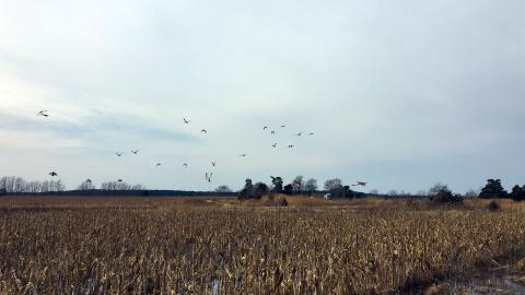 Ducks soar over a yellowed corn field on the Eastern Shore.