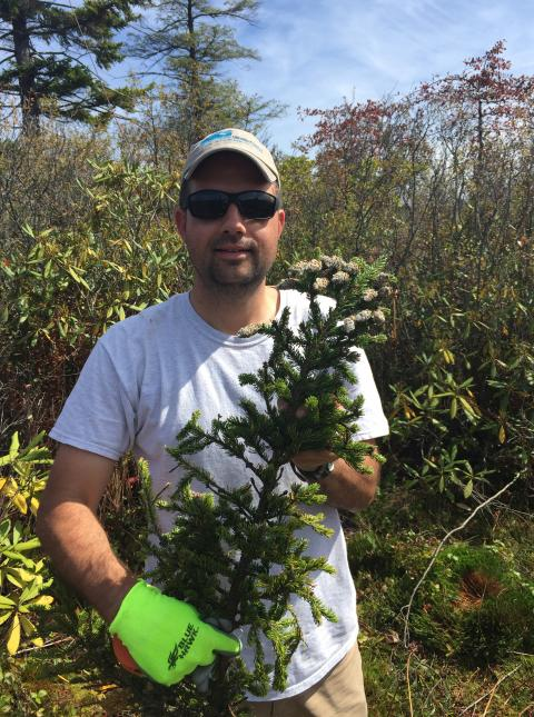 The study will focus on the red spruce, Matt Fitzpatrick said, because of its abundance and tendency to produce a lot of pollen, making it easier for him and his team to find.