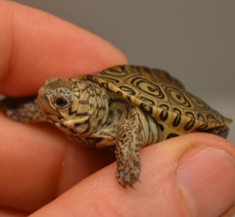 Diamondback terrapin turtle hatchling is the size of a thumb.