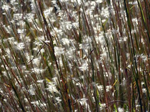 Photo of Little bluestem, a native turfgrass species