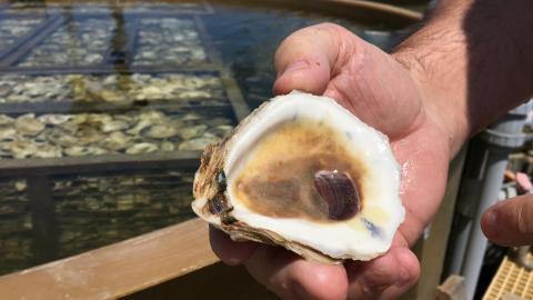 Donald Mutt Meritt holds up an oyster shell to look for spat