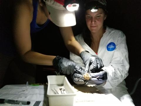 Beth Stevenson gets a closer look at a bat she thinks might be pregnant, while Kelly Pearce holds it steady.
