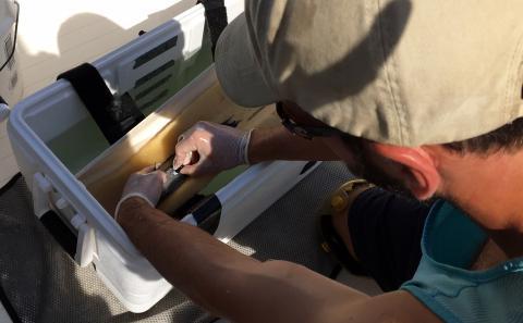 A black sea bass gets a transmitter