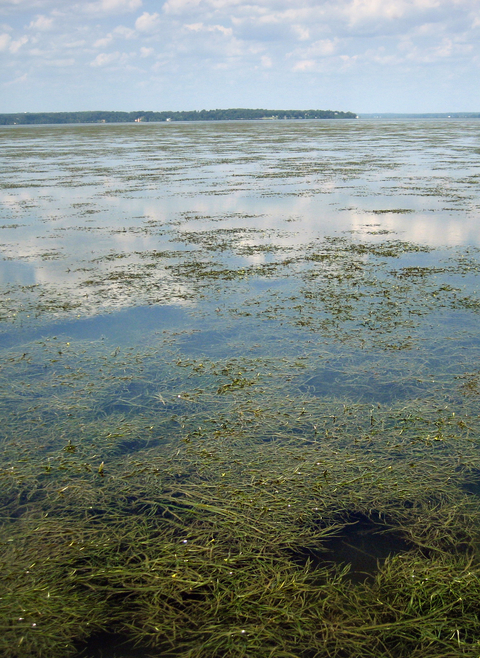 A view of seagrasses in Susquehanna Flats.
