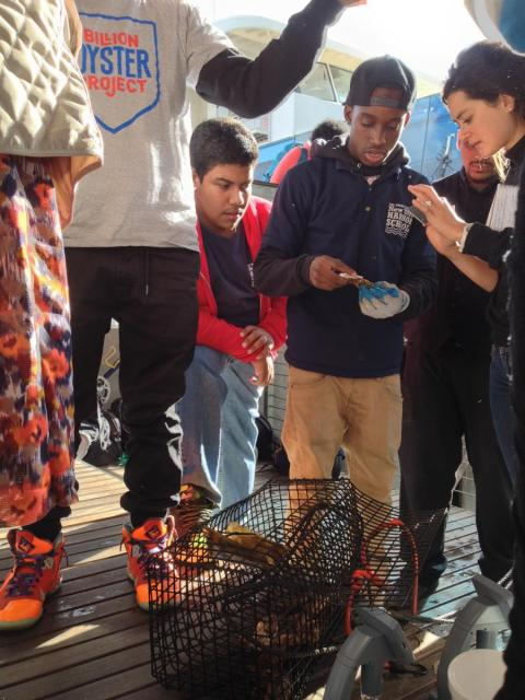 New York Harbor School students show off oysters they're learning how to grow and measure.