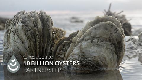 Chesapeake 10 Billion Oyster Project