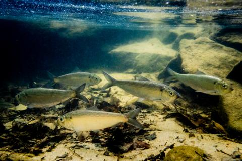 Alewife herring gather after swimming upstream to spawn in Susquehanna State Park in Harford County Md. on April 20, 2017 (Photo by Will Parson/Chesapeake Bay Program)