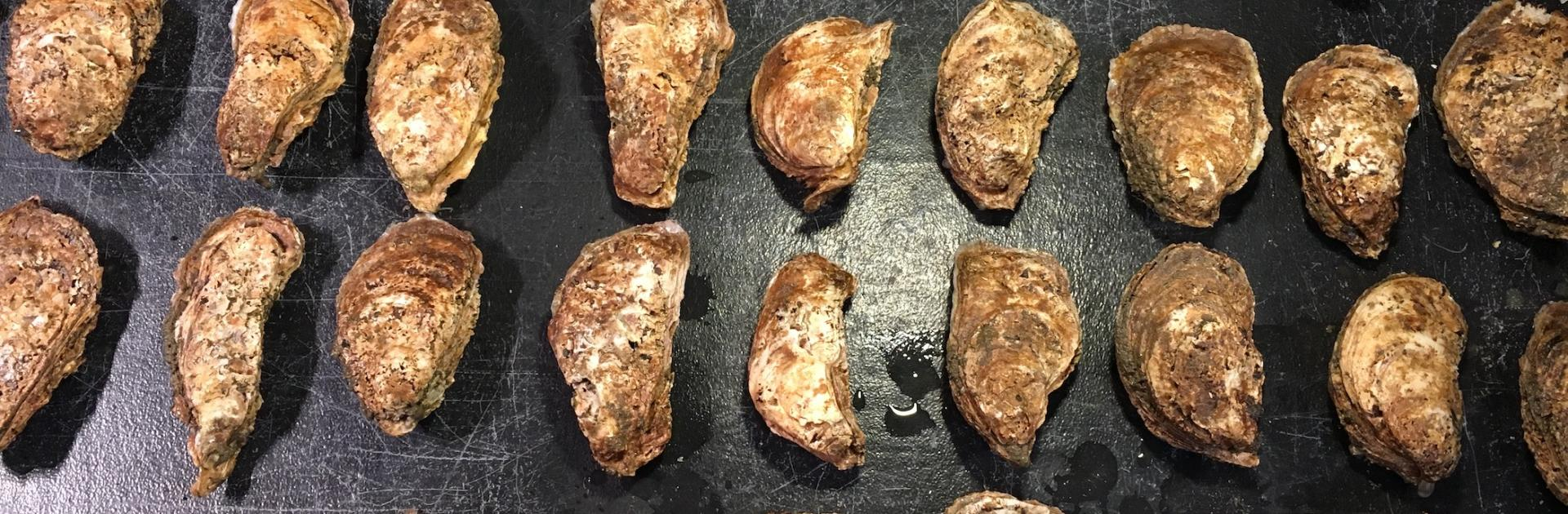 oysters on spawning table