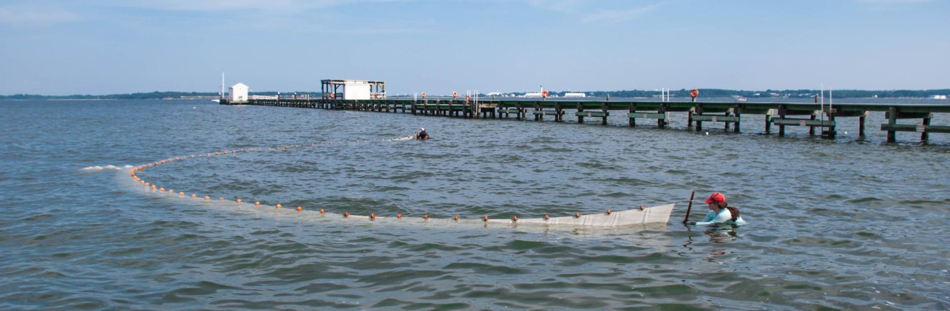 Students conducting a seine survey next to the pier at Chesapeake Biological Laboratory.