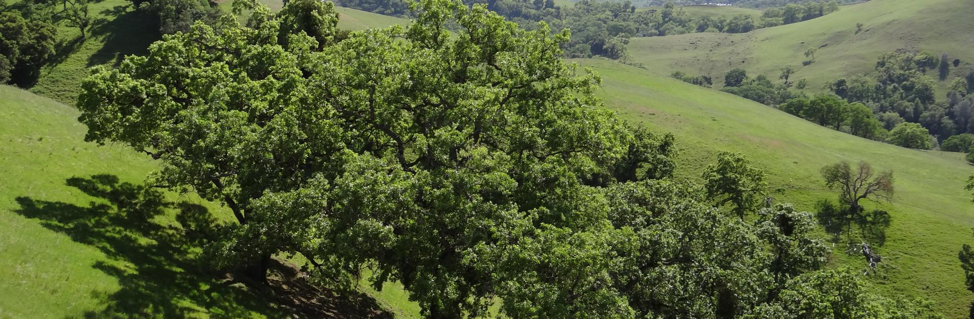 Photo of Valley Oak Trees