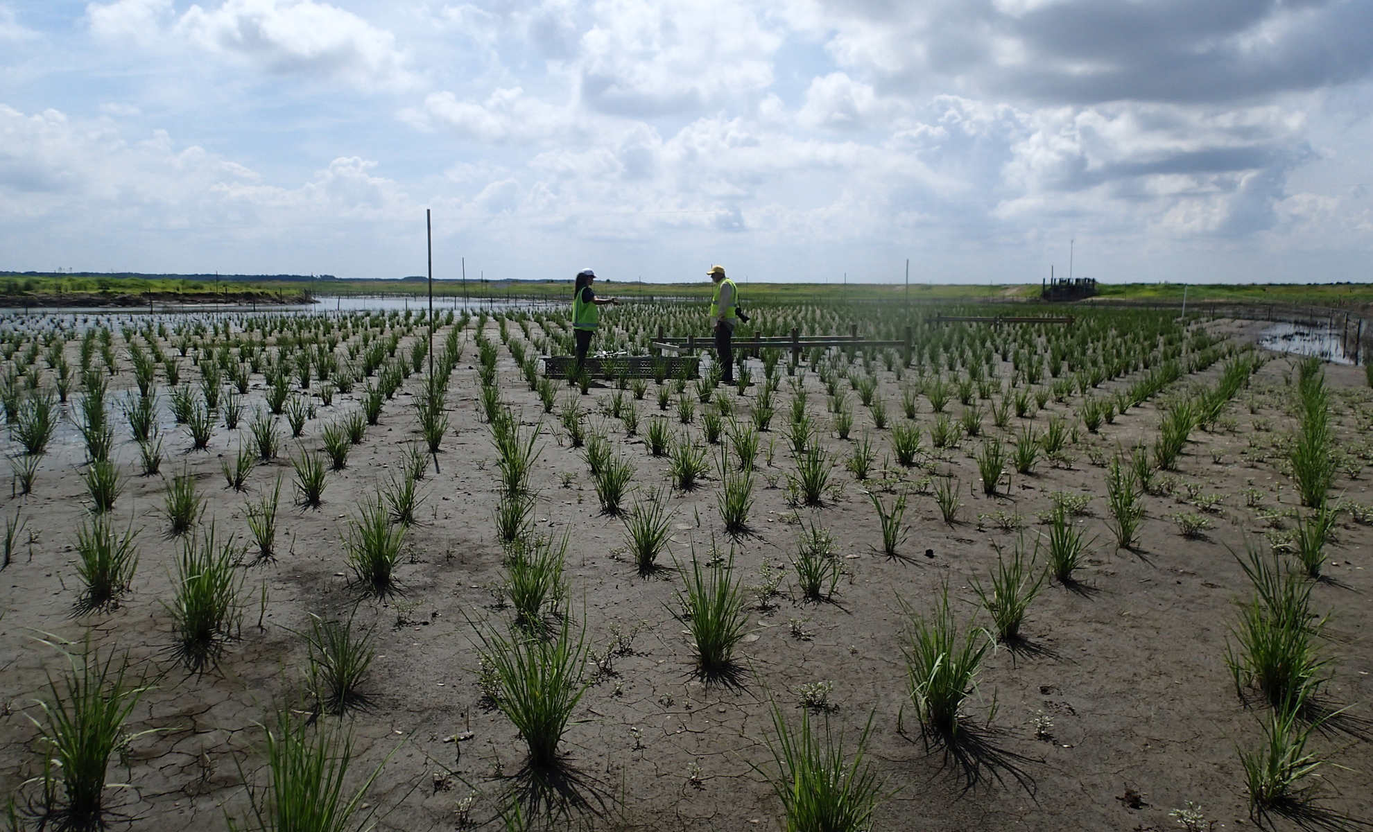 Rows of freshly planted marsh grass on Poplar Island