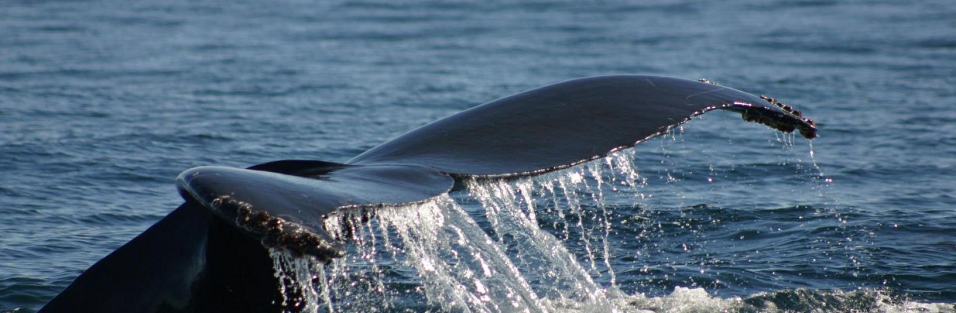 A whale's tail breaches the ocean's surface. Photo by Helen Bailey